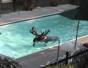 Moose in the Pool