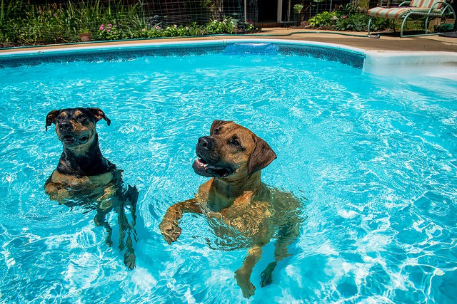 Chlorine Pools Can Dogs Swim In Them Premier Pools Spas
